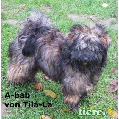 C-Wurf von Tila-La, Tibet-Terrier - Hündin