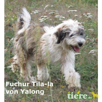 C-Wurf von Tila-La, Tibet-Terrier - Hündin 1