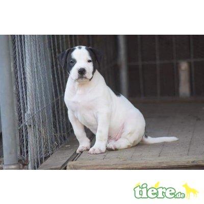 Campino, American Bulldog Welpen - Rüde