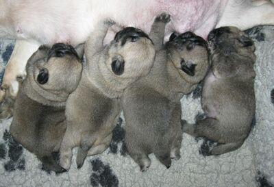 Canis Pugnax Pug, Mops Welpen - Rüde