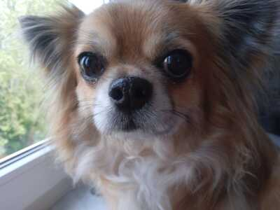 Chesnut vom Diesneyland, Chihuahua - Rüde