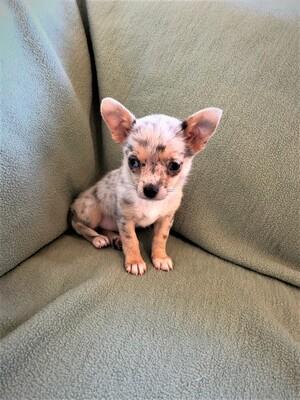 Chihuahua, Chihuahua Welpen - Hündin