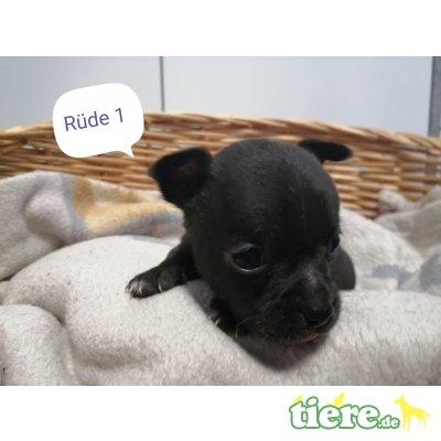 Chihuahua kurzhaariger Schlag - Rüde
