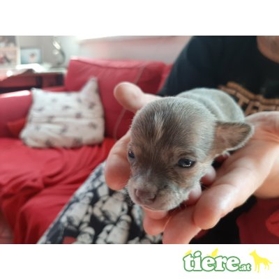 Chihuahua kurzhaariger Schlag Welpen - Rüde