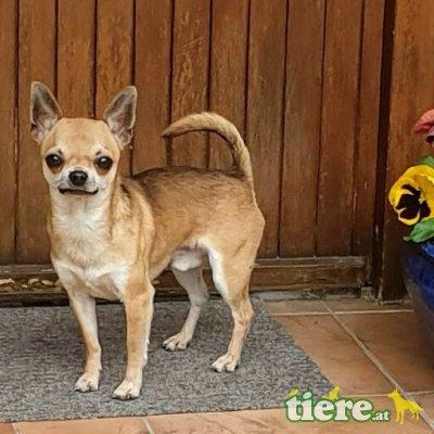 Chihuahua langhaariger Schlag - Rüde