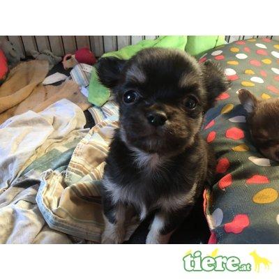 Chihuahua langhaariger Schlag Welpen - Rüde