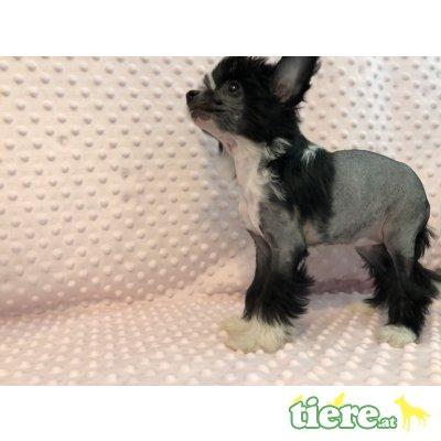 Chinesischer Schopfhund Hairless-Schlag - Hündin