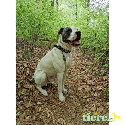 Clay, American Bulldog - Rüde