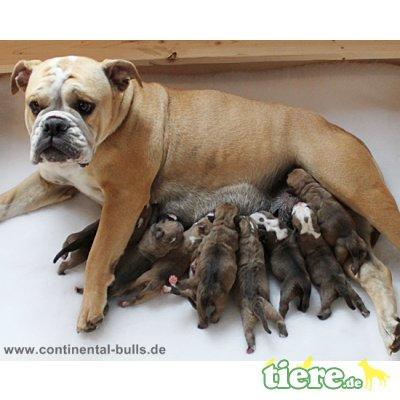 Continental Bulldog Welpen - Rüde