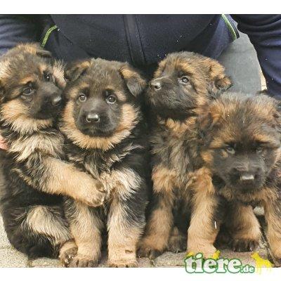 Deutscher Schäferhund Welpen - Hündin 1