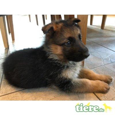 Deutscher Schäferhund Welpen - Rüde 1