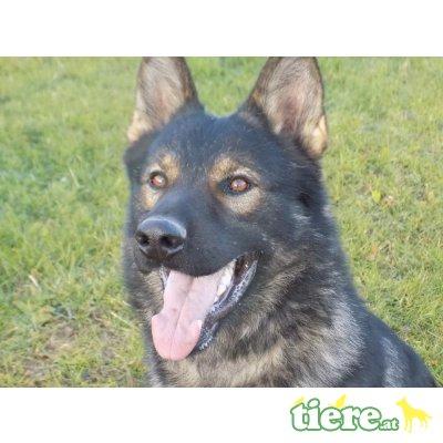 Deutscher Schäferhund Welpen - Rüde