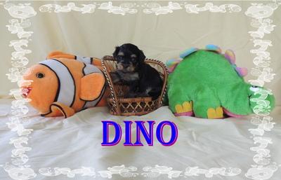 Dexter und Dino Sterne von St. Bendikta, Havaneser Welpen - Rüde