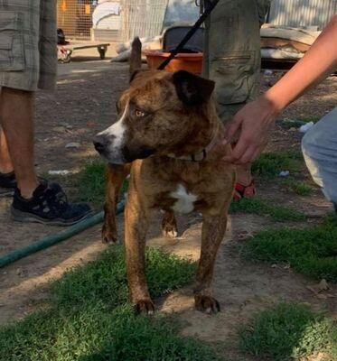 Dezso, Staffordshire Terrier Mix - Rüde