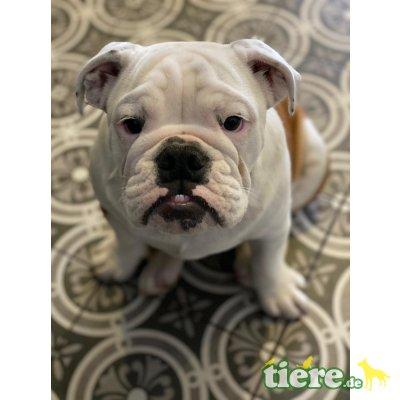 Dicki, Englische Bulldogge - Hündin
