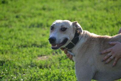 Djulio verzaubert mit seinem lächeln!, Staffordshire Terrier mit Windhund? - Rüde