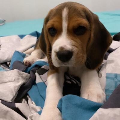 Emily, Beagle Welpen - Rüde 1