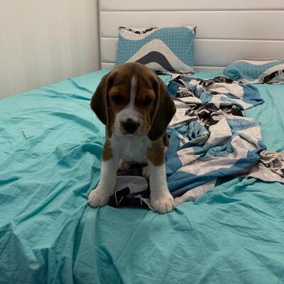 Emily, Beagle Welpen - Rüde