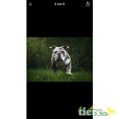 Englische Bulldogge - Rüde