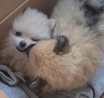 Entzückende, reinrassige Pomeranian Zwergspitz Welpen!, Pomeranian Welpen - Rüde 1
