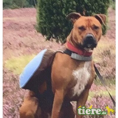 Erna, Amerikanischer Staffordshire-Terrier - Hündin