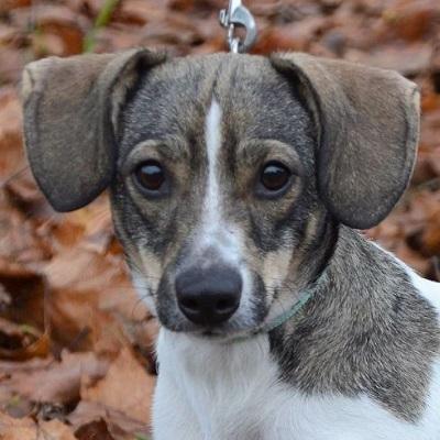 Eta kleine süße Jack Russel Terrier Mixhündin sucht kleines Körbchen, - Hündin