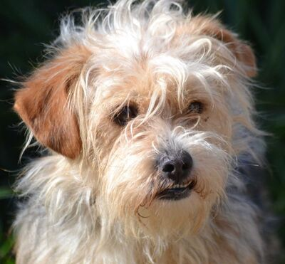 FILOU - Linares, Yorkshire-Terrier-Mischling - kastriert - Rüde