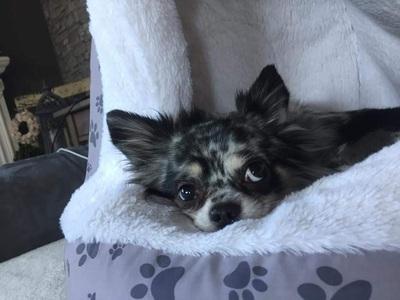 Flash vom Diesneyland, Chihuahua langhaariger Schlag - Rüde