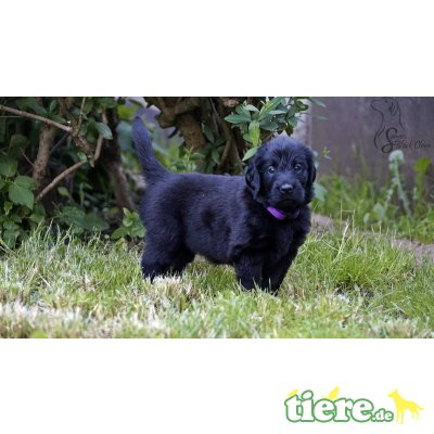 Flat Coated Retriever Welpen - Rüde