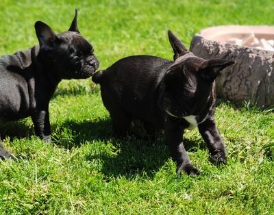 Französische Bulldogge - Hündin