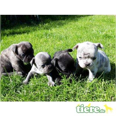 Französische Bulldogge - Rüde