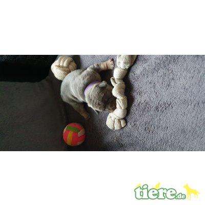 Französische Bulldogge Welpen - Hündin