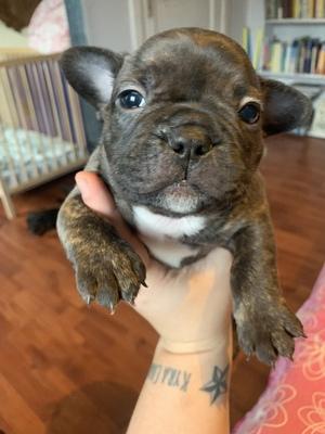 Französische Bulldogge Welpen - Hündin 1