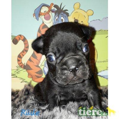 Französische Bulldogge Welpen - Rüde