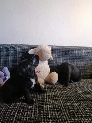 Französische Bulldogge Welpen - Rüde 1