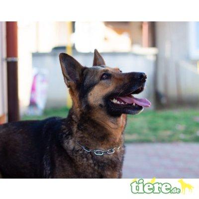 Frida, Schäferhund - Hündin