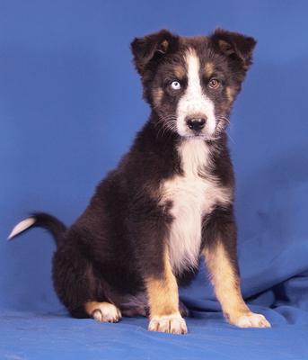 GUCCI - sehr lieb und menschenbezogen, fröhlich, anhänglich, lebhaft, verspielt, katzenverträglich, Husky Mischling Welpen - Rüde