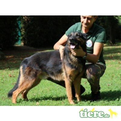 Gilberto, Deutscher Schäferhund - Rüde