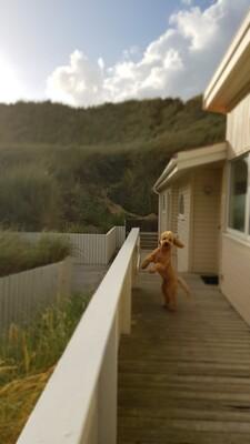 Goldendoodle - Rüde