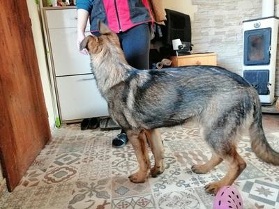 HAPPY, Deutscher Schäferhund Welpen - Hündin