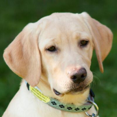 Happy Milly, Labrador - Hündin 1