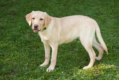 Happy Milly, Labrador - Hündin