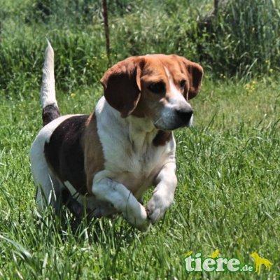 Haroula / Reserviert, Deutsche Bracke-/Beagle-Mischling - Hündin