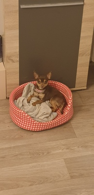 Holly, Chihuahua - Hündin - Hündin