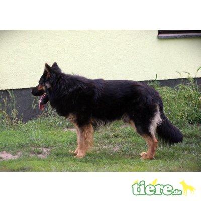 Hoss, Altdeutsche Schäferhunde - Rüde