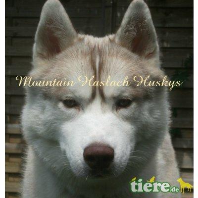 Hunter, Siberian Husky - Rüde