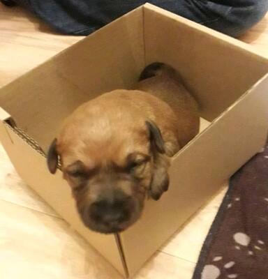 Irish Terrier, Irish Terrier Welpen - Rüde