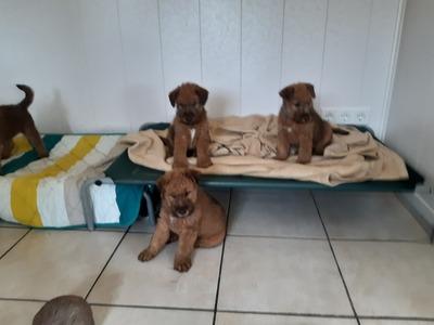 Irish Terrier Welpen - Rüde