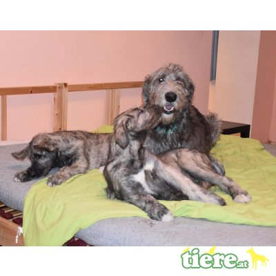 Irish Wolfhound Welpen - Rüde