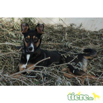 Isabell, Sennenhund-Mix - Hündin